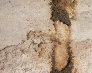 termitas comiendo