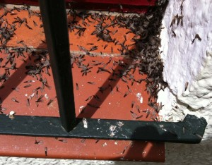 termitas voladoras