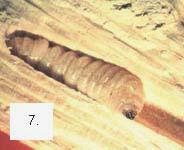 Las termitas diferencias entre termitas y carcoma tel for Carcoma o termitas