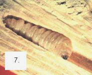 Larva_de_Carcoma.jpg