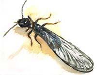 dibujo_termita_primaria.jpg